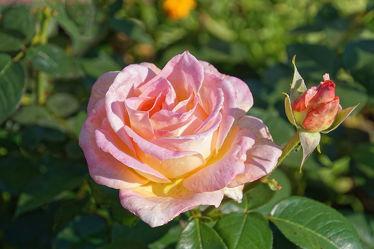gelb, rosa rosenblüte