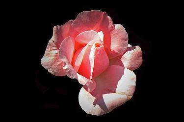 rosa rosenknospoe