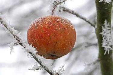 Bild mit Winter, Schnee, Baum, Frucht, Obst, Apfel, obst und früchte, Frost