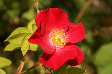 einfache rote rose