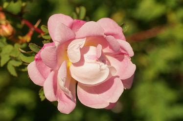 zarte rosenblüte