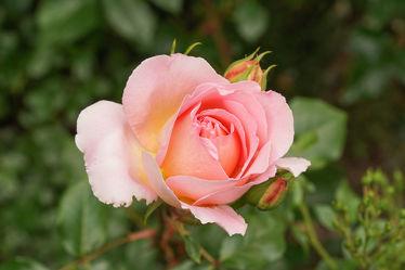 gelb, rosa rosenknospe