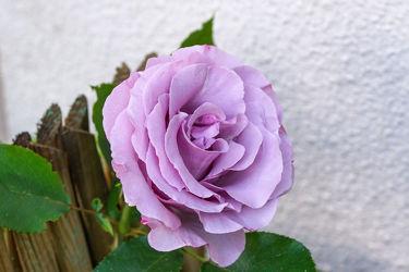 lavendelfarbene rose