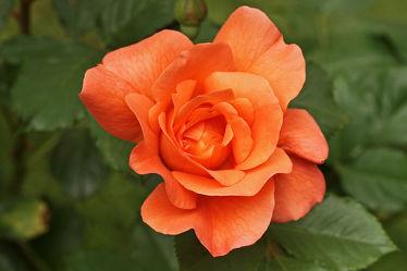 Bild mit Orange, Blumen, Rosen, Blume, Rose, Makro