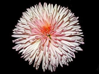 weiÃ?e chrysantheme