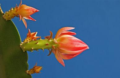 kaktuszweig mit blüten