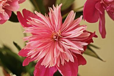 rosa pfingstrose
