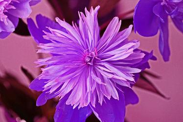 lila pfingsrose