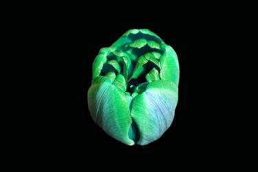 grün,blaue tulpe