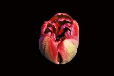 rotbraune tulpe