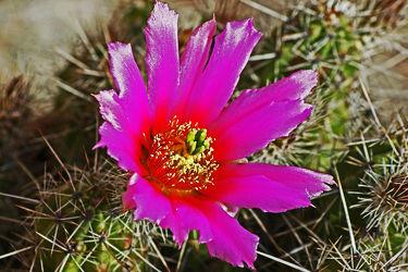 lila kaktusblüte