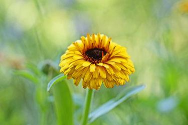 gelbe,gefüllte ringelblume