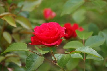 rosenzweig mit roter blüte