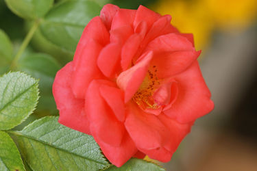 hellrote rose
