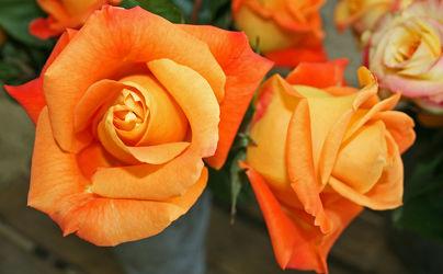orangerote rosenknospen
