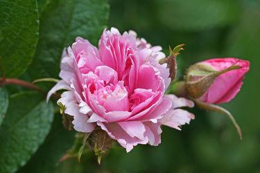rosenblüte mit knospe