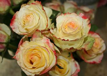 champagnerfarbene rosen