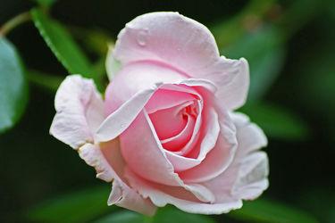 zartrosa rosenknospe
