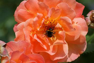 rose mit hummel