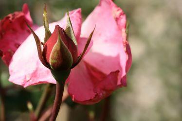 rosenkomposition
