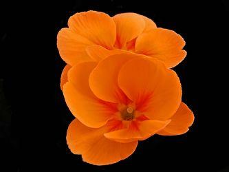 orangerote primel