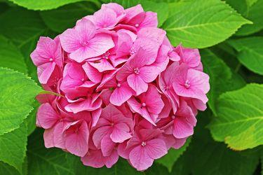 rosa hortensienblall