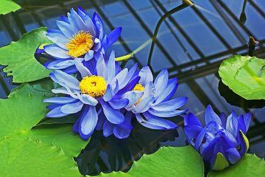 blaue seerosen