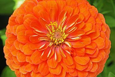aprikotfarbene zinnie