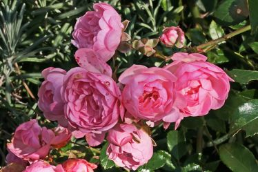 zweig mit rosa rosen