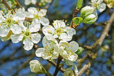 pflaumenblüten im frühlingshimmel