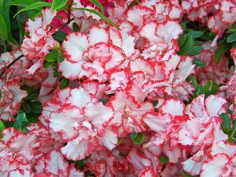 weiÃ?e rosa blüte der azalee