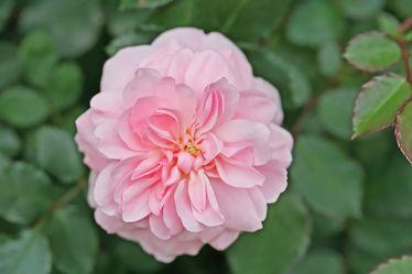 rosa duftrose