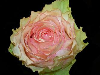 marzipanfarbene rose