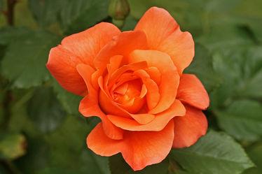 orangerote rose