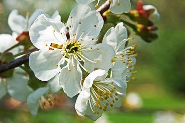 weiÃ?e kirschblüten