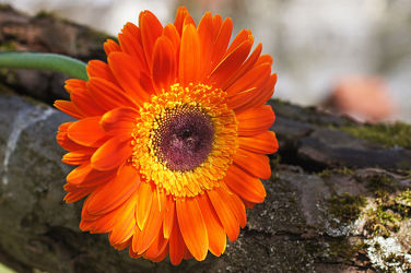 orangerote gerbera