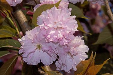 japanische zierkirschenblüten