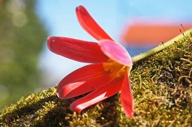 rote tulpe auf moos