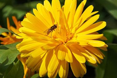 ringelblume und insekt