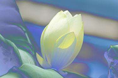lotusblüte in veräderten farben