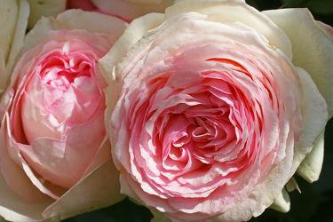 rosenpracht