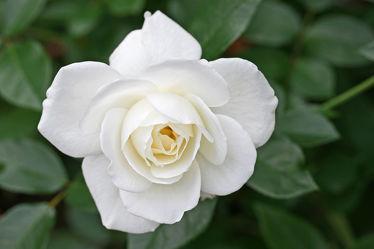 rose, weiÃ?