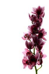 Bild mit Blumen, Orchideen, Blume, Orchidee, weißer Hintergrund