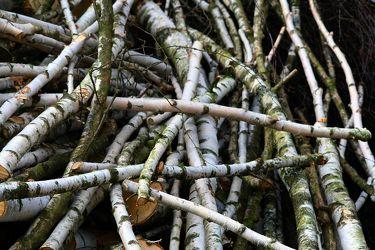 Bild mit Natur,Bäume,Holz,Birken,Baum,Birke,Holzstruktur,Wurzeln,Wurzel