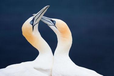 Bild mit Tiere, Vögel, Vögel, Tierisches, Paar, Liebe, Basstölpel, Love, Pärchen