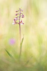 Bild mit Blumen, Orchideen, Blume, Orchidee, Wildblumen, wildblume