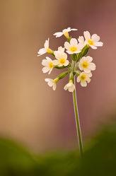 Bild mit Blumen, Frühling, Sommer, Sonnenschein, Blume, Wildblumen, wildblume, schlüsselblume