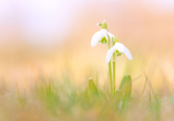 Bild mit Natur, Blumen, Sonnenschein, Blume, Wildblumen, Schneeglöckchen, wildblume