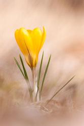 Bild mit Gelb, Natur, Weiden und Wiesen, Frühling, Wiese, Wildblumen, Krokusse, Wiesen, Krokus