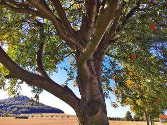 Bild mit Natur, Bäume, Baumkrone, Baum, Baumstamm, Blätter, Tree, Stadt Görlitz, Görlitz, Trees, Überleben, Landeskrone, Vogelbeere, Vogelbeerbaum, Eberesche, Mehlbeeren, Sorbus, Sorbus aucuparia